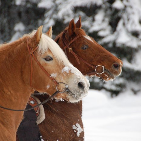 Horses in the snow | © Angerle Alm